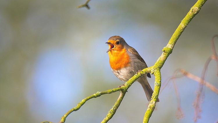 Как научиться петь у птиц? Часть 1. Теория.